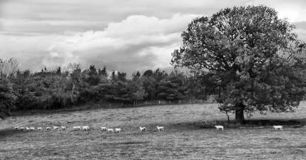 Sheep trail