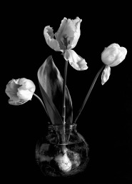 Three tulips and bulb