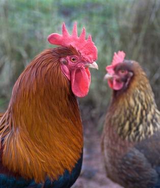 Cockerel and hen