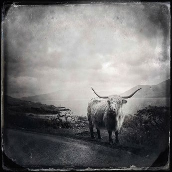 Highland cow, Mull