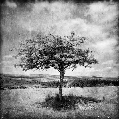 Lone Dartmoor tree