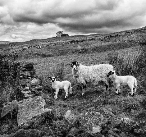 Sheep, Langthwaite