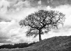 Harewood Tree