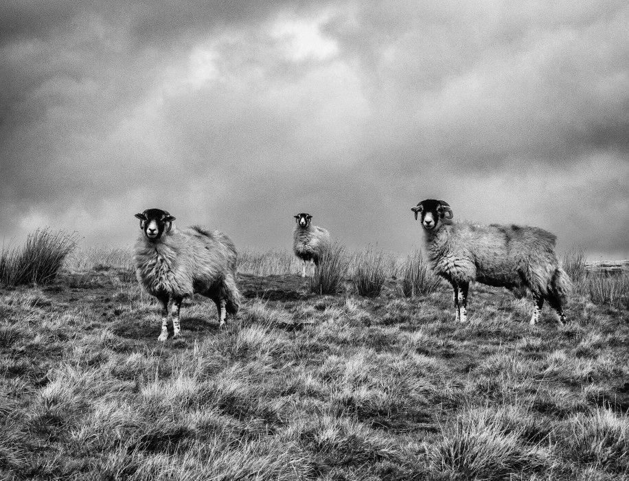 Three-sheep-full-dynamic-display-sharp