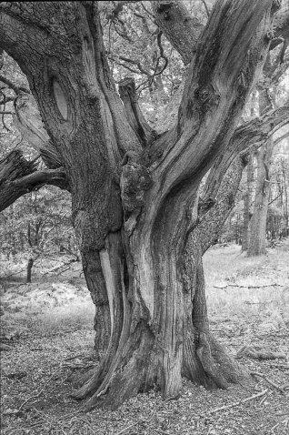 Oak-tree-trunk-Pd-scan=sharp
