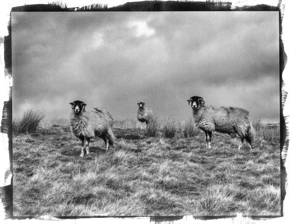 Pd-Three-sheep-high-Pass